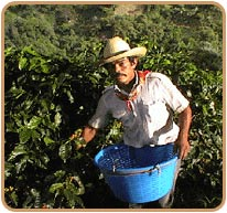 Coffee Picker in Costa Rica